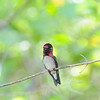 Bee Hummingbird - World's Smallest Bird - Cuba