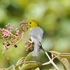 Yellow-headed Warbler - Cuba
