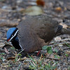 Blue-headed Quail-Dove - Cuba