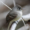 Crescent-eyed (Cuban) Pewee