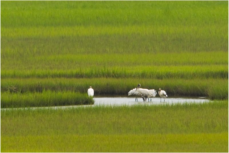 Wood Storks Fishing <br> using their feet and their beaks to stir the water
