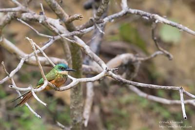 Rufous-tailed Jacamar - Gilpin Trace, Tobago