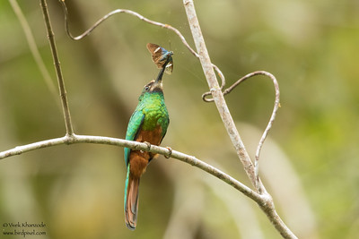 White-chinned Jacamar - Amazon, Ecuador