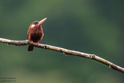 White-eared Jacamar - Amazon, Ecuador