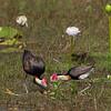 Comb-crested Jacana. Nest and eggs on floating vegetation.<br /> Lakefield National Park, Cape York, Australia