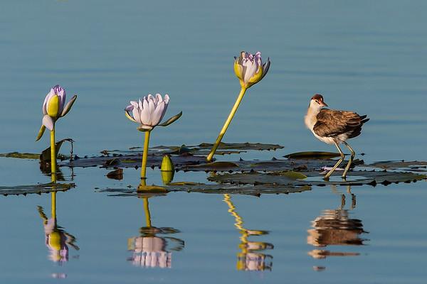 Comb-crested Jacana<br /> Lakefield National Park, Cape York, Australia