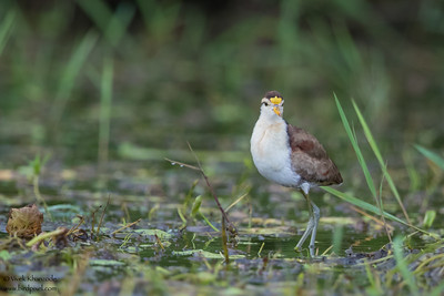 Northern Jacana - Crooked Tree, Belize
