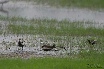 Pheasant-tailed Jacana - Nagpur, India