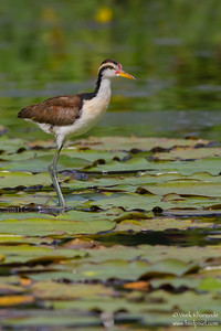 Wattled Jacana - Juvenile - Oxbow Lake near Tambo Blanquillo Lodge, Peru