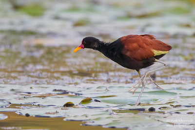 Wattled Jacana - Oxbow Lake near Tambo Blanquillo Lodge, Peru