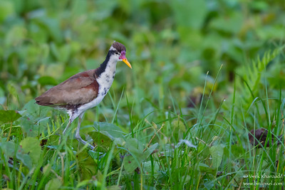 Wattled Jacana - Immature - Oxbow Lake near Tambo Blanquillo Lodge, Peru
