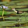 Comb-crested Jacana (Irediparra gallinacea), Emerald Lakes, QLD.
