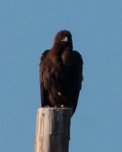Dark Red-tailed Hawk