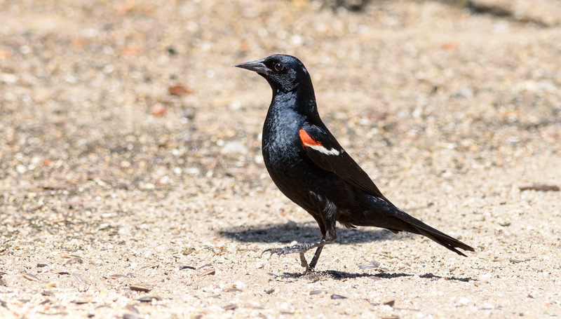 Tricolored Blackbird