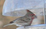 Looks like a new kind of crested finch, but really a female cardinal near a house finch