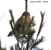 Red-shouldered Hawk near road to White Banks