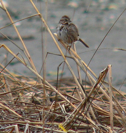 Song Sparrow at Winsegansett