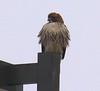 Hawk at Seven Eleven