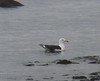 Great Black-backed Gull at Winsegansett