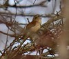 Fuzzy pic of Carolina Wren in thicket.