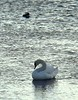 Hooded Merganser and Mute Swan at YMCA