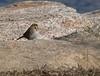 Savannah Sparrow at Mattapoisett Town landing.