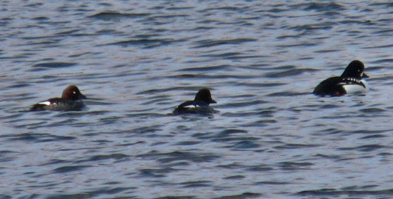 Barrow's Goldeneye male with common? females.  From Hurricane Dike on the way to Palmer's Island.