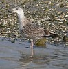 Young Great Black-backed Gull