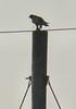 Egypt Lane--Peregrine Falcon eating