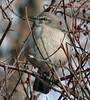 Egypt Lane Mockingbird