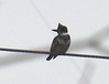 Belted Kingfisher at Bike Path at Weeden Road.