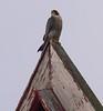 Congregational Church falcon