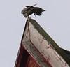 Congregational falcon