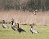 Northern Harrier and Canada Geese at soccer fields