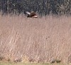 Northern Harrier at soccer fields
