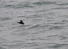 Surf Scoter taking a running leap