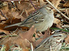 Jan. 5 - White-crowned Sparrow at Gellette Road (with Song Sparrow)