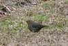 Brown-headed Cowbird at the Little League fields at Shaw Road