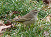 Palm Warbler at soccer fields