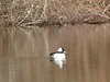 Bufflehead at Austin Pond (Mill Road)