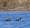 "Hooded Mergansers from RR Bridge near the Mattapoisett ""Y"""