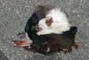 Bufflehead head near library driveway.  Duck-hawk leftovers?