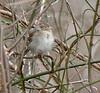 Sleepy Field Sparrow