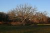 "Tree saved several years ago behind Wood School.  HOWEVER, finally cut down in 2012<br /> <a href=""http://smu.gs/KlTYFD"">http://smu.gs/KlTYFD</a>"