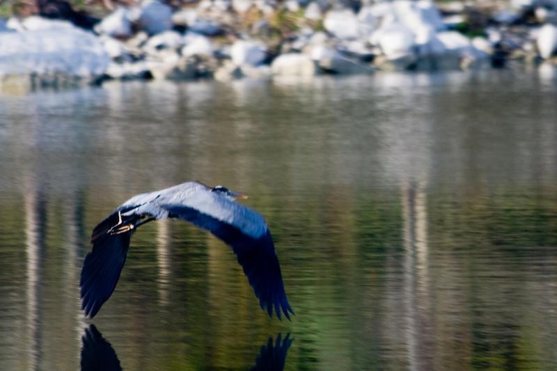 Great Blue Heron #33c