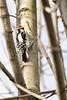 Downy Woodpecker  #17 a