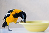 December 28, 2012<br /> <br /> Troupial  (large Oriole) #99<br /> <br /> Aruba
