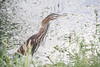 December 28, 2012<br /> <br /> Green Heron  #93<br /> <br /> Aruba