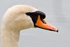 Mute Swan  April 21, 2012