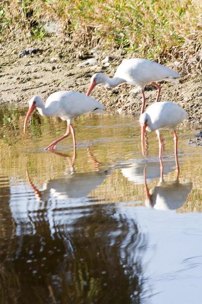 White Ibis 34a